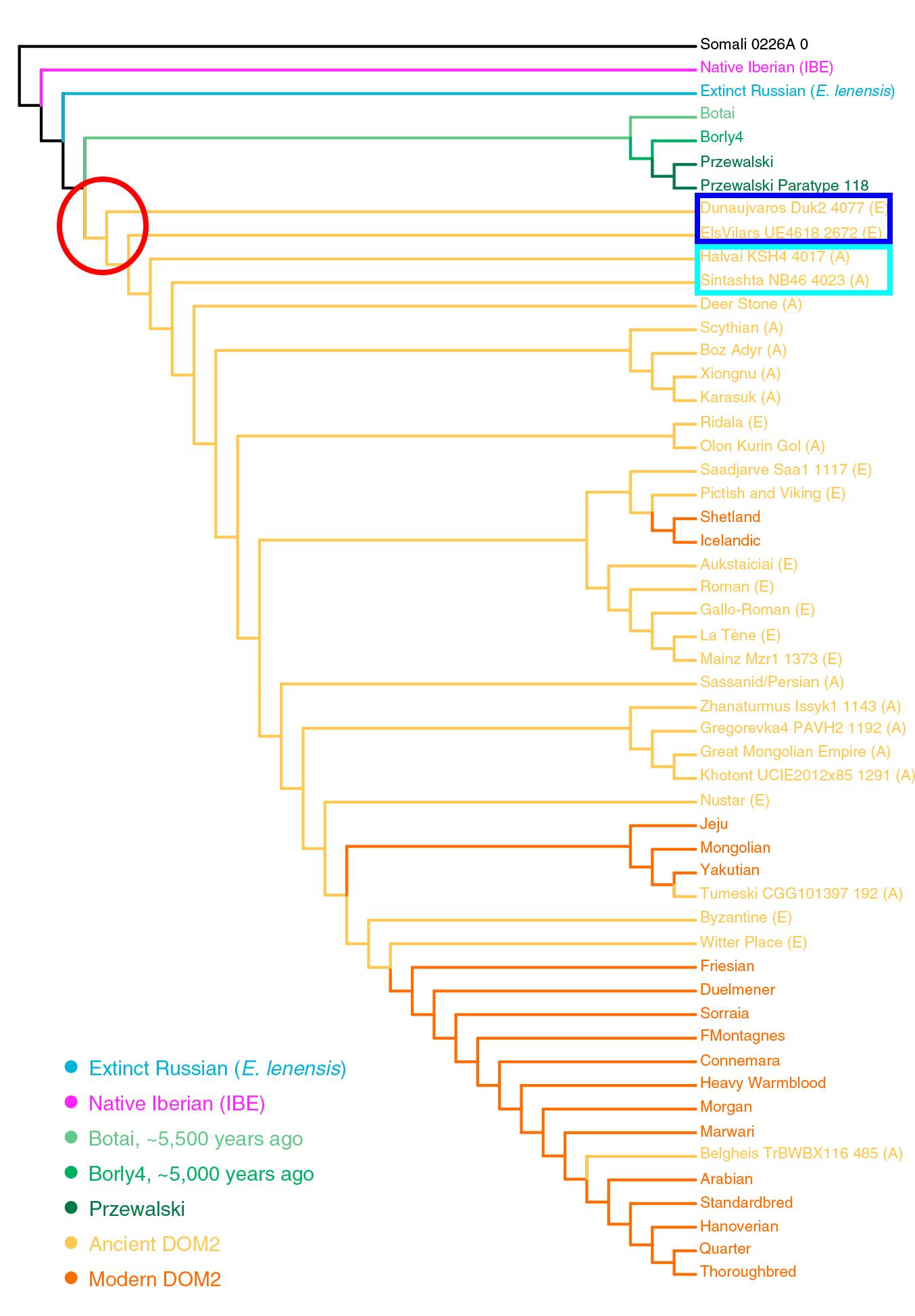 horse-lineages-domesticates-przewalski-dom2-botai